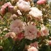 rosa-the-fairy-flower2