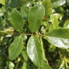 rosa-the-fairy-leaf1