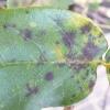 rose-black-spot-leaf2
