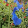 salvia-patens-flower1