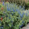 salvia-patens-plant1