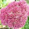 sedum-herbstfreude-flower1