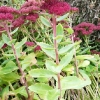 sedum-herbstfreude-stem1