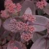 sedum-telephium-atropurpureum-group-xenox-flower1