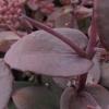 sedum-telephium-atropurpureum-group-xenox-leaf1