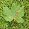 sycamore-gall-mite-1