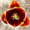 tulipa-abu-hassan-flower2