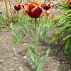 tulipa-abu-hassan-plant1
