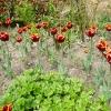 tulipa-abu-hassan-plant2