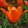 tulipa-ballerina-flower1