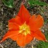 tulipa-ballerina-flower2