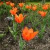 tulipa-ballerina-plant1