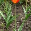 tulipa-ballerina-plant2