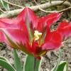 tulipa-esperanto-flower1