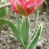 tulipa-esperanto-plant1