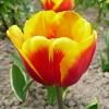 tulipa-kees-nelis-flower1
