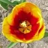 tulipa-kees-nelis-flower2