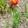 tulipa-keizerskroon-plant1