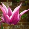 tulipa-maytime-flower1