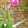 tulipa-maytime-plant1