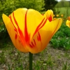 tulipa-olympic-flame-flower1