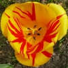 tulipa-olympic-flame-flower2