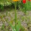 tulipa-olympic-flame-plant2