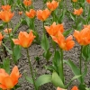 tulipa-orange-emperor-plant1