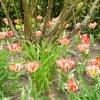 tulipa-plaisir-plant1