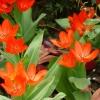 tulipa-praestans-fusilier-flower1