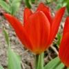 tulipa-praestans-fusilier-flower2