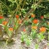 tulipa-praestans-fusilier-plant1