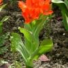 tulipa-praestans-fusilier-plant2