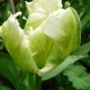 tulipa-white-parrot-flower1
