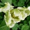 tulipa-white-parrot-flower2
