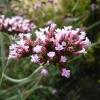 verbena-bonariensis-flower1