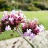 verbena-bonariensis-flower2