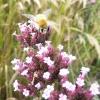 verbena-bonariensis-flower3