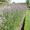verbena-bonariensis-plant1
