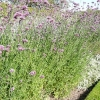 verbena-bonariensis-plant2