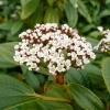 viburnum-davidii-flower1