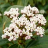 viburnum-davidii-flower2