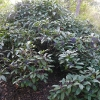 viburnum-davidii-plant1