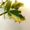 vine-weevil-damage1