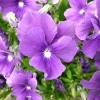 viola-huntercombe-purple-flower1