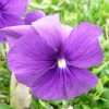 viola-huntercombe-purple-flower1_0