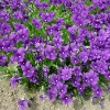 viola-huntercombe-purple-plant1