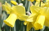 Division 2 daffodil - 'Amber Castle'