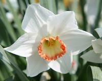 Division 3 daffodil - 'Audubon'