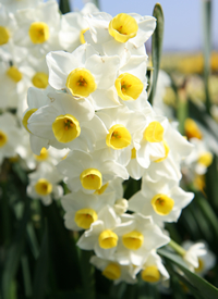 Division 8 daffodil - 'Avalanche'